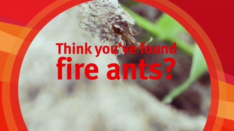 fire ant treatment brisbane